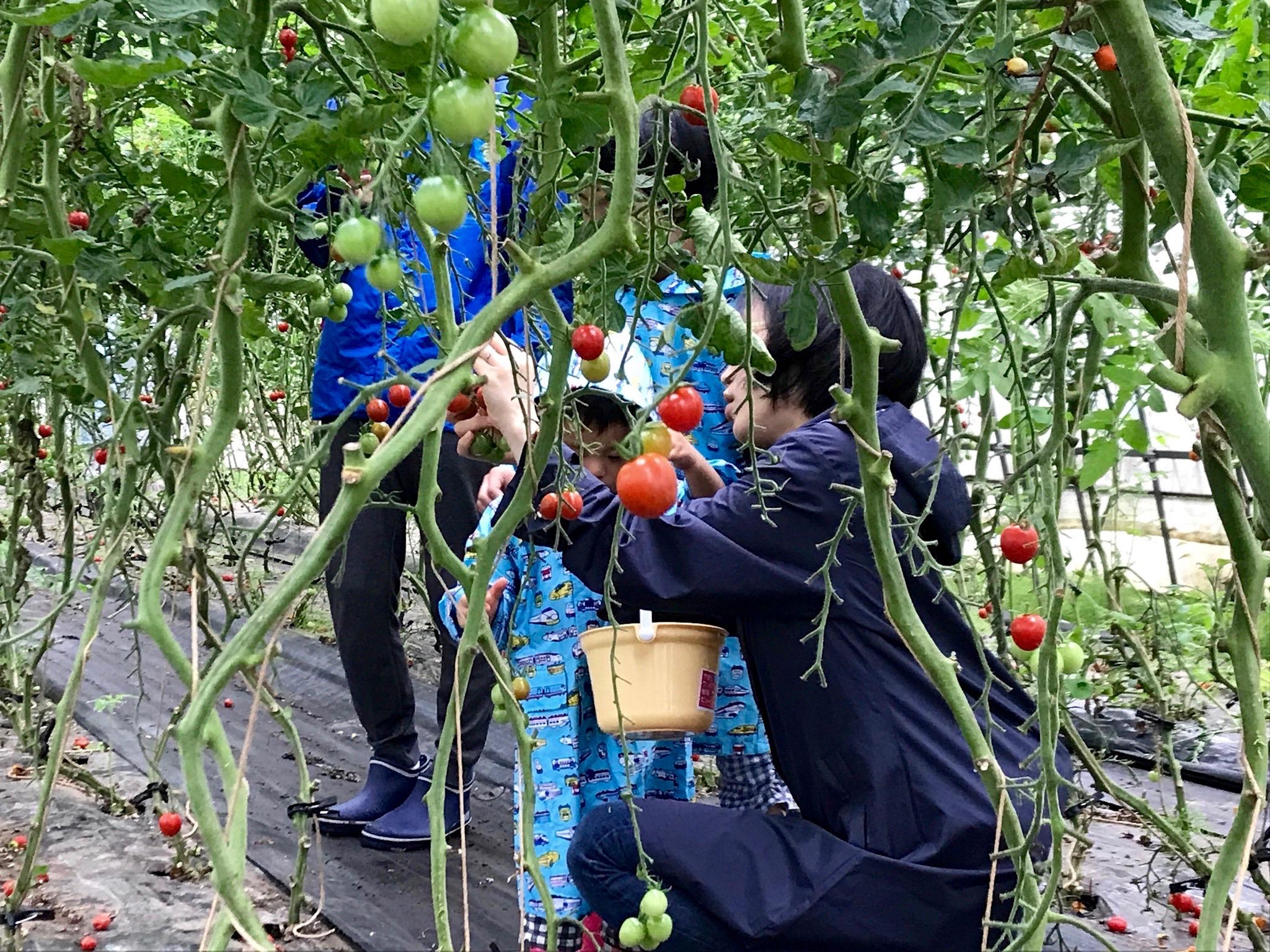 夏の土日限定! いわき農園の5色のミニトマト狩り